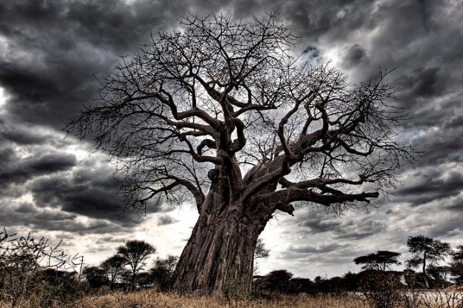 Baobabs en Tanzania